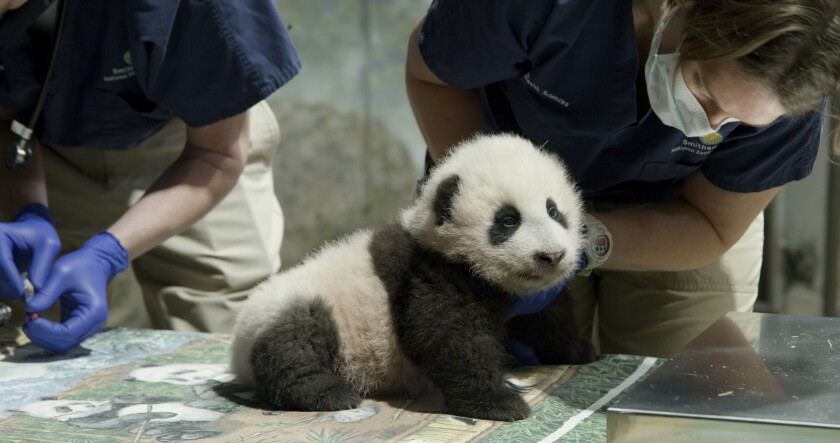"""This handout photo released by the Smithsonian's National Zoo shows a panda cub named Xiao Qi Ji in Washington. More than three months after his birth, the National Zoo's new panda cub finally has a name. Officials at the Smithsonian, which runs the zoo, announced Monday, Nov. 23, 2020, that the cub born on August 21 would be named Xiao Qi Ji, which is Mandarin Chinese for """"little miracle."""" (Smithsonian's National Zoo via AP)"""