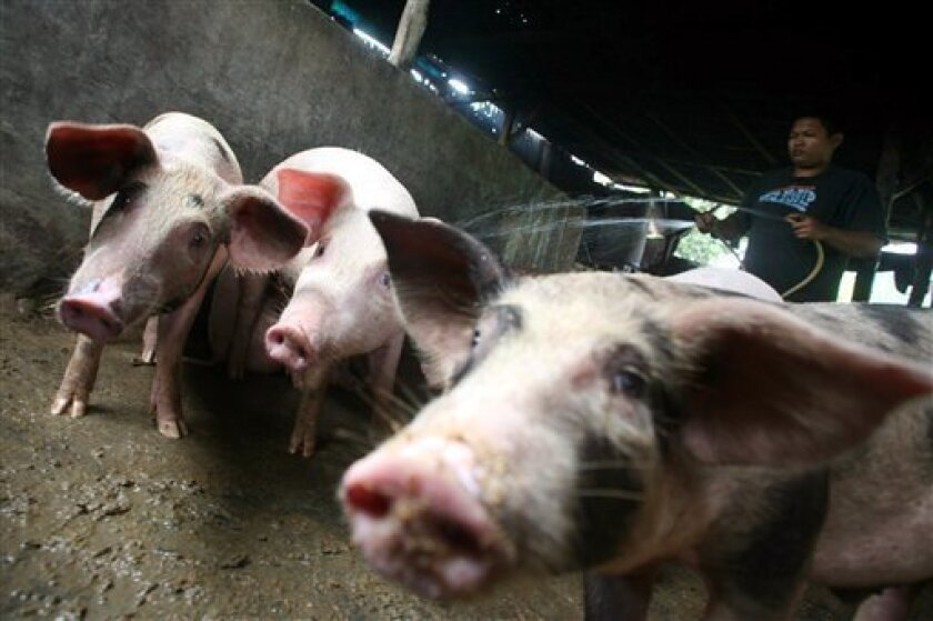 A farmer wash pigs at a pig farm in Medan, North Sumatra, Indonesia, Thursday, April 30, 2009. Indonesia, which was hit hardest by bird flu, said it was banning all pork imports to prevent swine fever infections. (AP Photo/Binsar Bakkara)