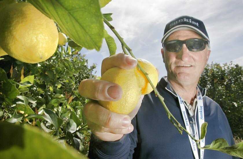 Scott McIntyre reached for some of his Eureka lemons at Sierra Pacific Farms in Temecula.