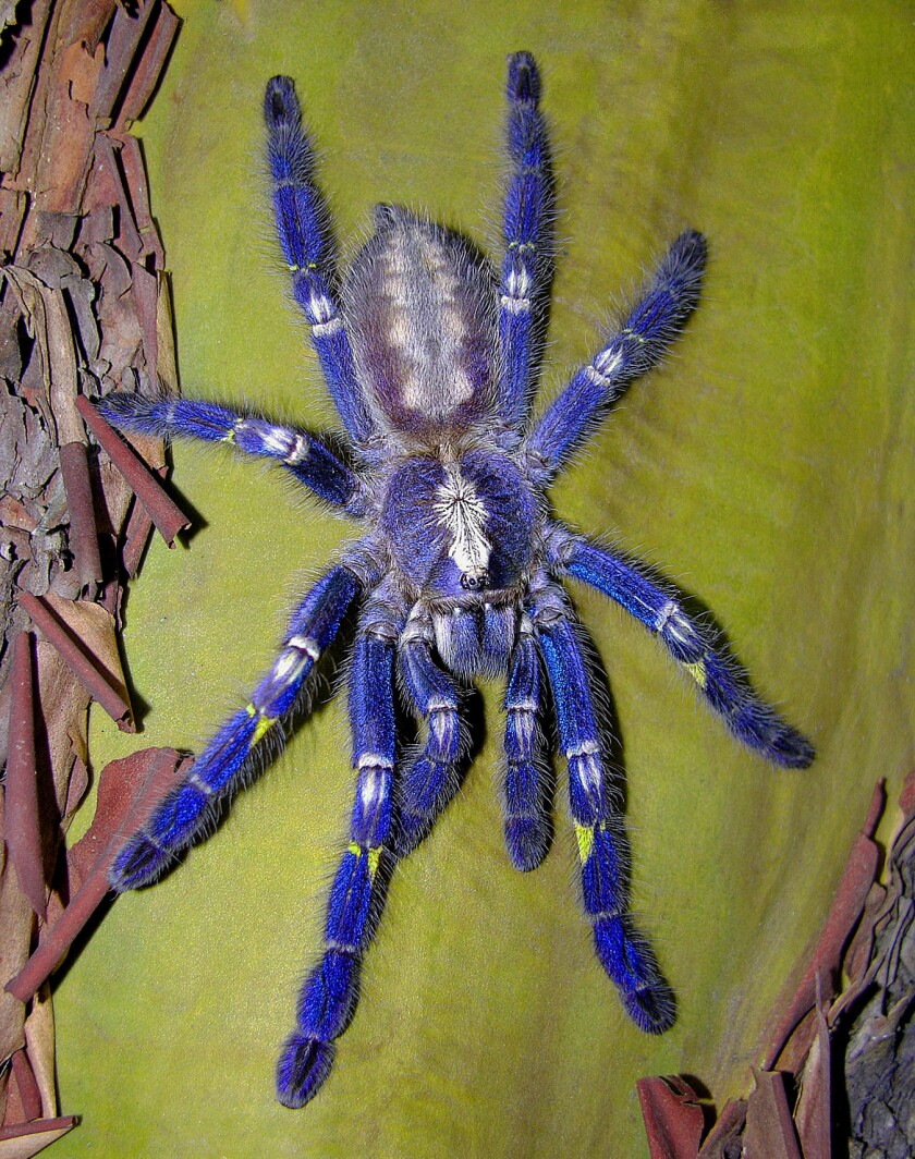 11 tarantula species are considered for protected status in U S