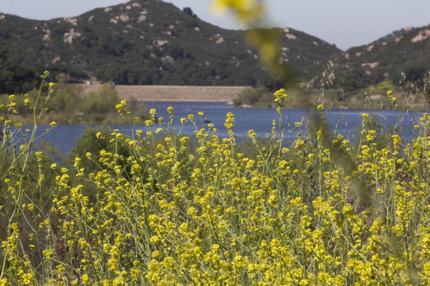 Lush growth has taken hold in the area once covered with water at Lake Wohlford in Escondido.