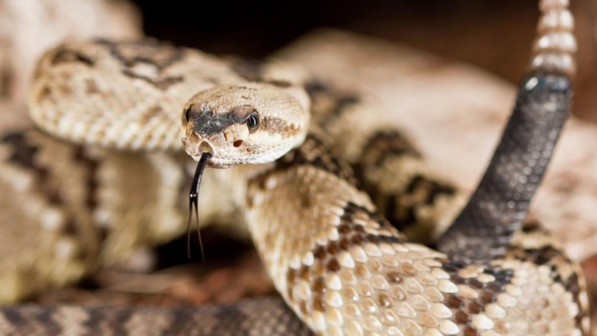 Rattlesnake season begins with a vengeance in Southern