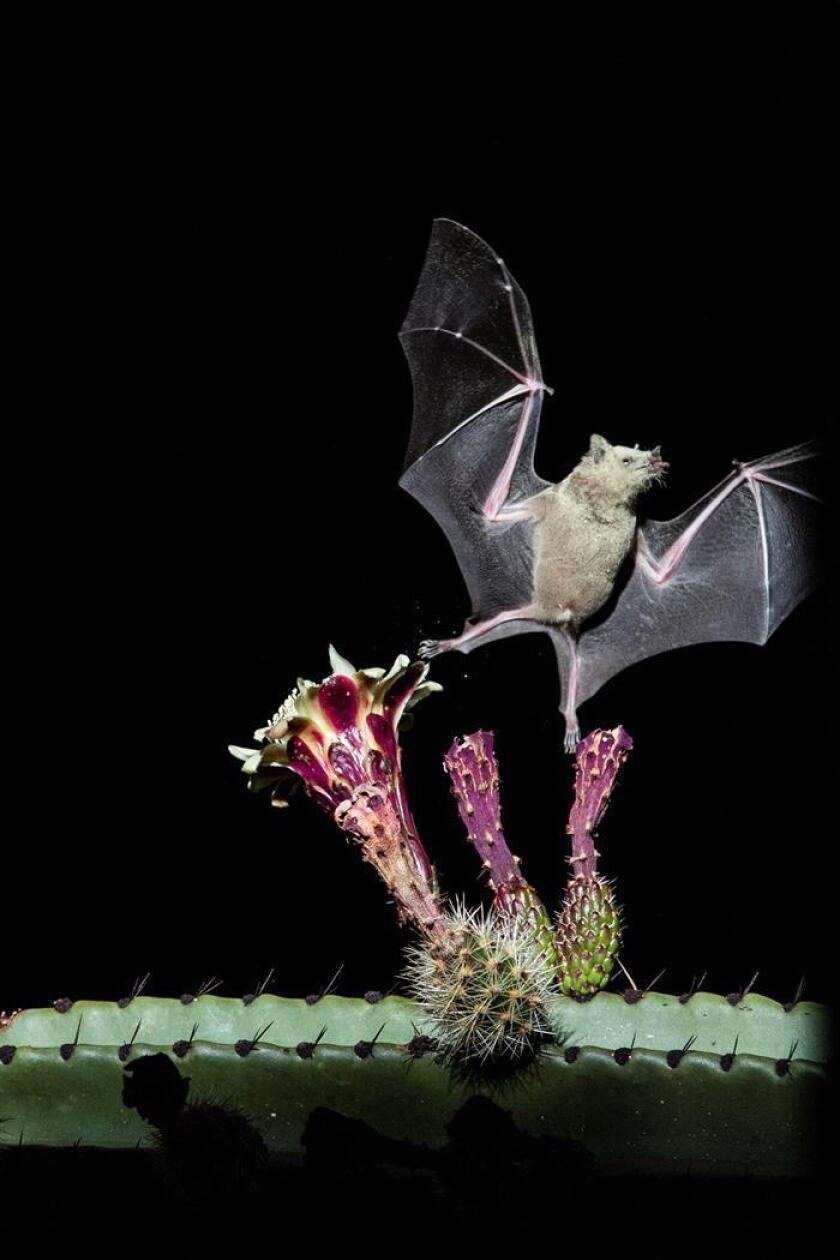 Fotografía cedida este jueves por el Instituto Politécnico Nacional (IPN) de un especie de Murciélago. Científicos mexicanos realizan labores de conservación de murciélagos para que estos sigan contribuyendo al proceso de polinización, informó este jueves el Instituto Politécnico Nacional (IPN). EFE/EPN/SOLO USO EDITORIAL