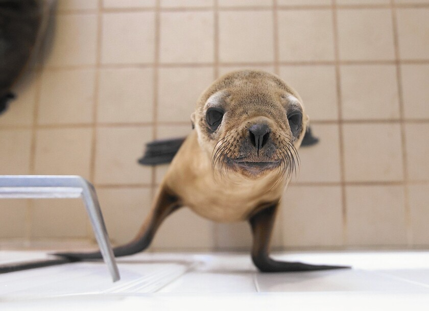 A rescued California sea lion pup at the Pacific Marine Mammal Center in Laguna Beach.
