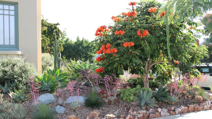 An African tulip tree is the centerpiece of the new front yard.