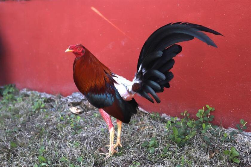 Unas once personas, entre las edades de 27 y 40 años, fueron detenidas el domingo por participar de peleas de gallos clandestinas en Manatí, municipio al norte de Puerto Rico, informó la Policía. EFE/Archivo