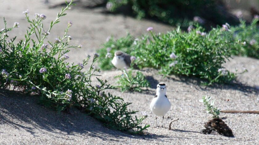 Two snowy plovers appeared in April at Malibu Lagoon one of four L.A. County beaches where the birds