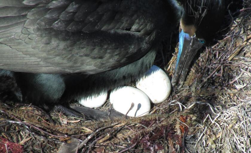 Tending to the eggs and rearranging nest material