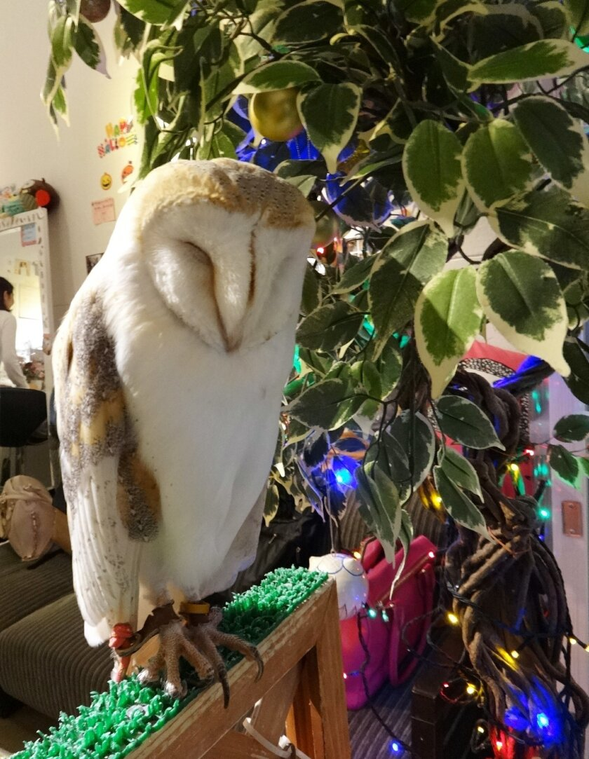 This October 2014 photo shows an owl at Fukuro no Mise, which means Shop of Owls, in Tokyo. The cafe allows visitors to hold and interact with owls. It's one of a number of cafes in Japan where you can spend time with animals ranging from rabbits to goats. (AP Photo/Linda Lombardi)