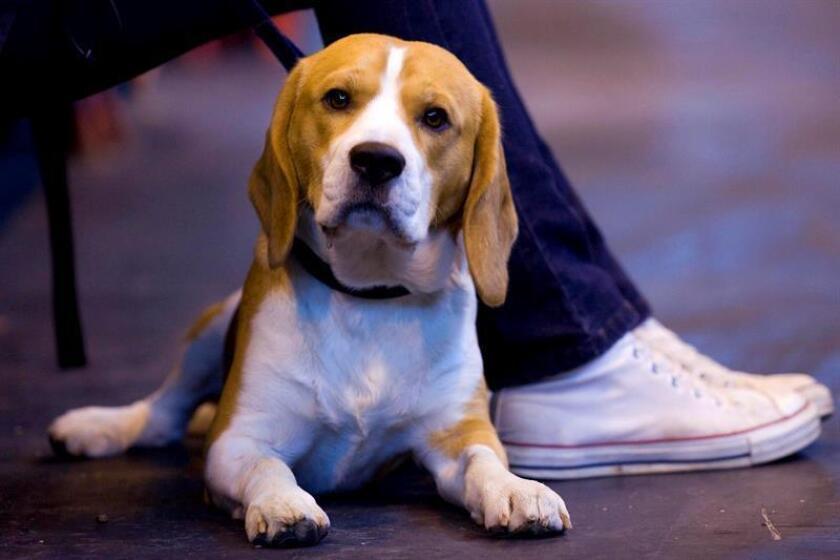 Un grupo de perros de raza beagle entrenados en Canadá han ayudado a la detección prematura del cáncer en varios departamentos de bomberos de Texas, informaron hoy a Efe fuentes de la organización que gestiona los canes. EFE/Archivo