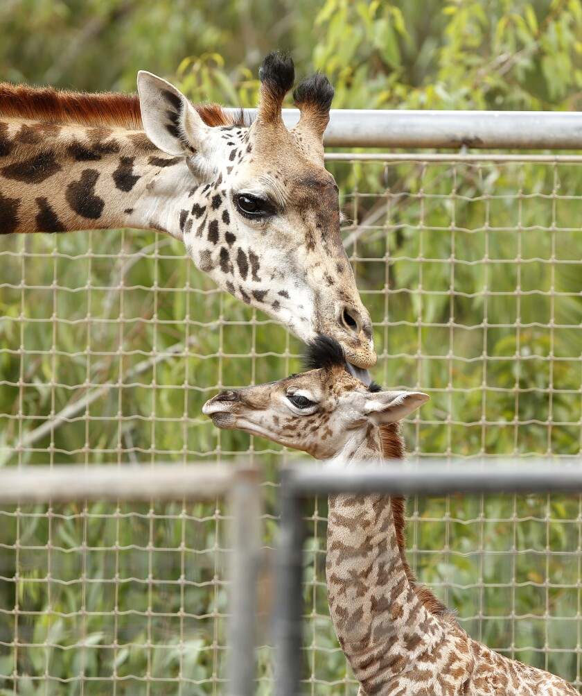 """A baby giraffe gets a kiss from her mother Domibella at the San Diego Zoo on Thursday. The Masai giraffe calf was born on Sunday and was 154 lbs and 6' 1"""" tall at birth."""