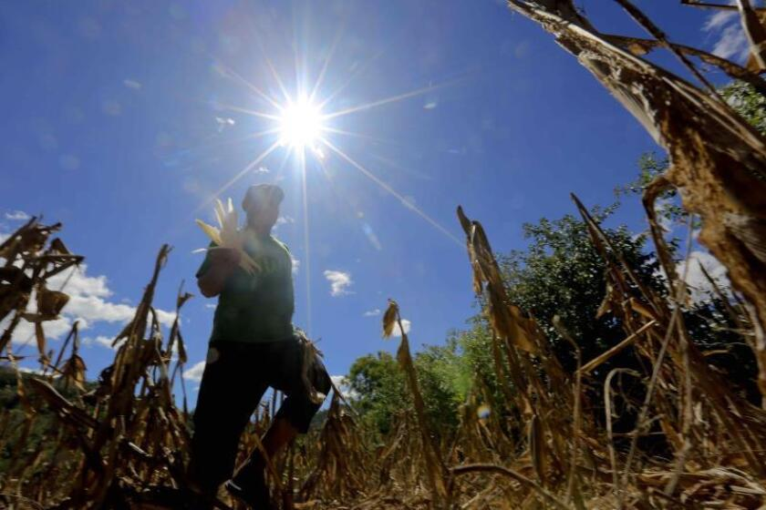 Photograph taken on Jan. 31, 2019, shows Humberto Hernandez walking through his corn field in the community of San Benito Nuevo, a village in the municipality of Concepcion de Maria, in southern Honduras. Residents of this impoverished municipality in southern Honduras hope that the severe drought that has been predicted for early of 2019 because of El Niño does not destroy the harvests that sustain them. EPA-EFE/Gustavo Amador