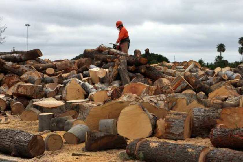 A worker uses a chain saw to cut up firewood from felled trees in Irvine. CareerCast deemed lumberjacks to have the worst jobs.