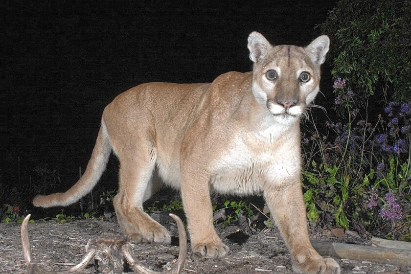 A remote camera captured the mountain lion known as P-41.