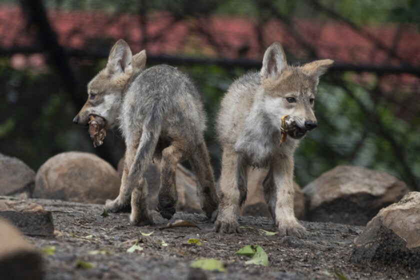 Mexican wolf pups eat a quail carcass in their enclusure at Chapultepec Zoo in Mexico City, Friday, July 2, 2021. The pups were born on April 24 and are part of a binational effort with the U.S. to help the species recover. (AP Photo/Fernando Llano)