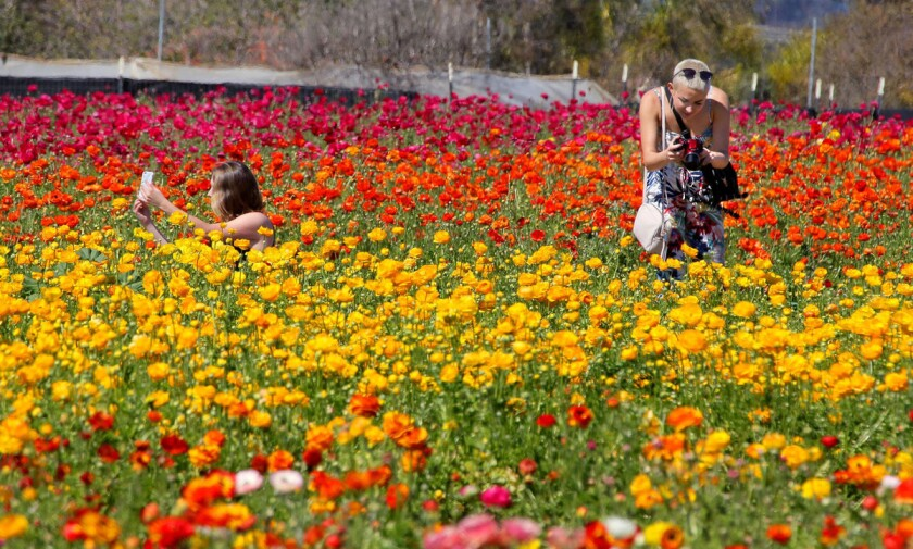 Friends Natalie Fregosi, left, and Jessica Spung, at right, of San Diego, take photos of the first blooming ranunculus of the season at the Carlsbad Flower Fields. This is at the north end of the 50 acre property. The peak blooming time here is still week