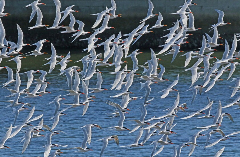 Terns take flight in a wildlife preserve at the western end of the San Diego River channel near Ocean Beach Dog Beach.