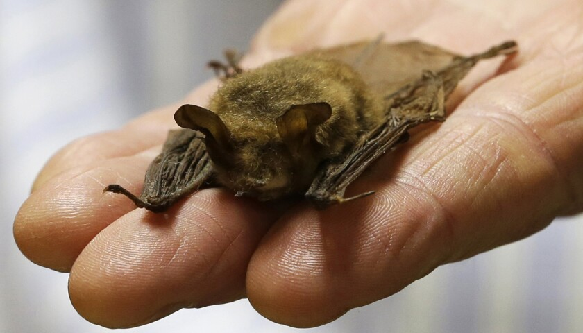 FILE — In this Feb. 8, 2017 file photo, a northern long-eared bat is held at the Cleveland Museum of Natural History, in Cleveland. Tree-cutting on a key stretch of a power line in western Maine is going to stop almost as soon as it started to protect the newly born young of the federally protected bat. A federal appeals court last week gave the green light for construction on a 53-mile segment of the New England Clean Energy Connect, but construction will have to stop in June and July to protect the northern long-eared bat, which has been hard-hit by so-called white nose syndrome. (AP Photo/Tony Dejak, File)
