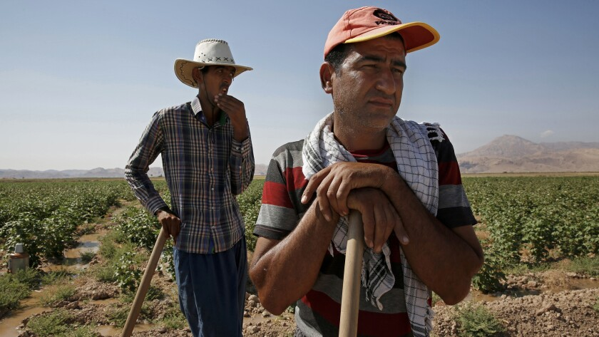 Hossain Mirakhouri, 45, right, and Hamid Reza Karimi, 24, farm and harvest cotton by hand in the face of Iran's severe drought.