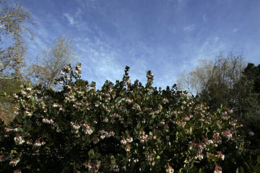 BLOOMING CANOPY: This time of year, drought-tolerant manzanitas are bursting with honey-scented blossoms.