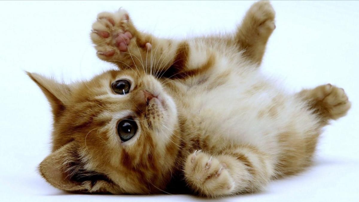 11 cosas por las que amas a tu gato y no lo sabías (o quizá sí) - Los  Angeles Times