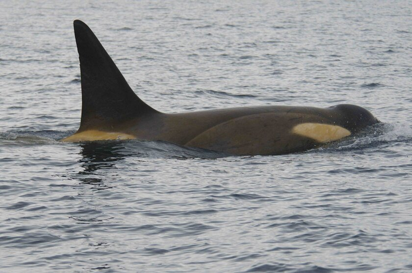 "Photo of a killer whale near  the Antarctic Peninsula when it is in ""yellow"" state with heavy diatom coverage."