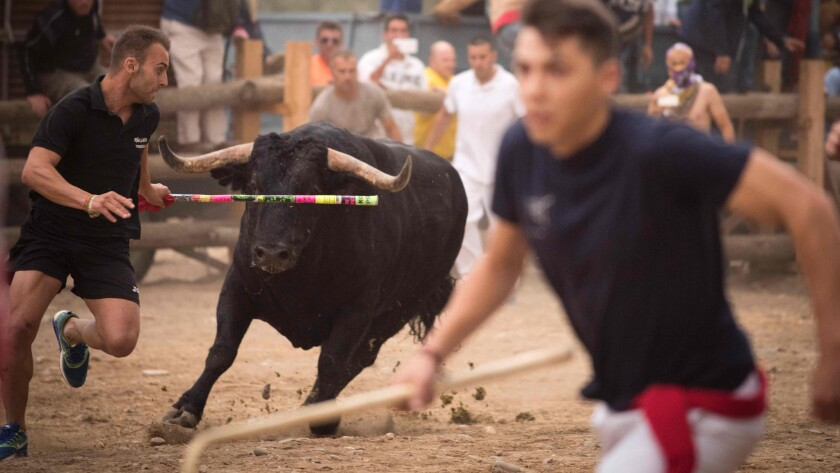 In Spain S Tordesillas Pelado The Bull Encounters Both Anger And Pleasure Tied To His Fate Los Angeles Times