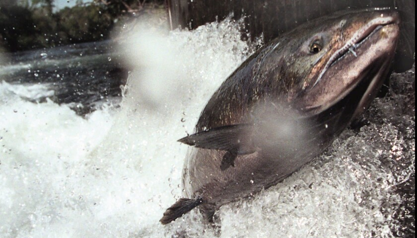 A file photo shows a California wild salmon leaping from a stream as it returns to spawn.