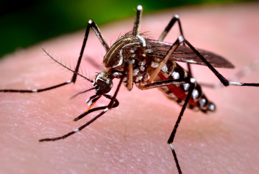 Aedes aegypti , known as the yellow fever mosquito because it can transmit tropical diseases, has become more prevalent in San Diego County.