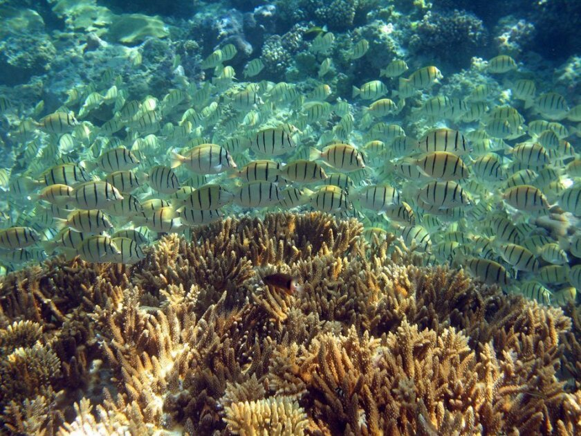 A school of convict tangs swim over a coral dominated habitat on Palmyra Atoll.