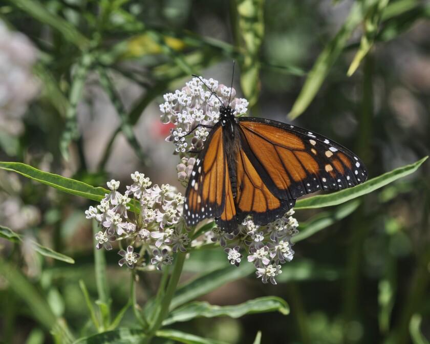 Monarch on narrow leaf milkweed flowers.jpg