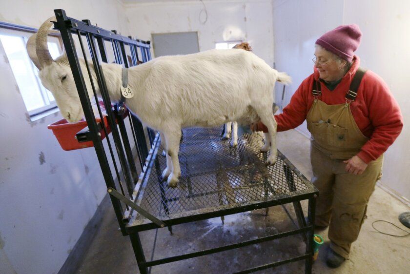 Paula Olson prepares a goat for milking, Wednesday, Feb. 18, 2015, on her farm near Madrid, Iowa. Demand for goat milk, cheese and other products has steadily increased in recent years, and goat farmers and dairy producers across the country are grappling with meeting this demand while continuing to develop their products. (AP Photo/Charlie Neibergall)