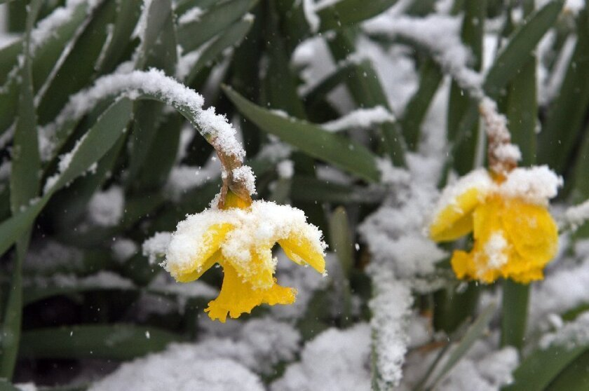 Daffodils hang under the weight of snow in St. Louis, which was socked by a late blizzard.