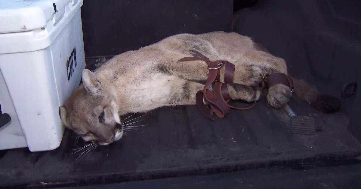 を攻撃した後、犬山獅子現在の殺害におけるヤギのシミバレー