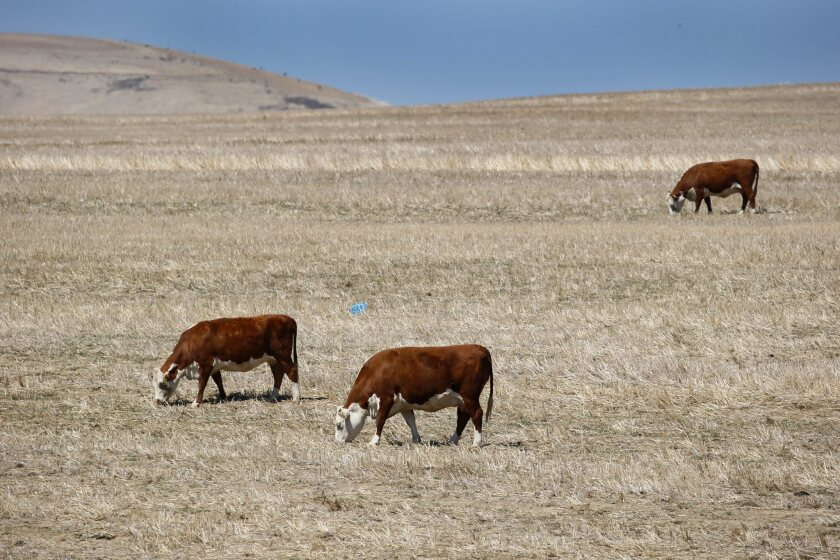 Cows look for something to graze on in a dry field in western Cape Town, South Africa. The global El Niño weather pattern is blamed for severe drought in southern Africa.