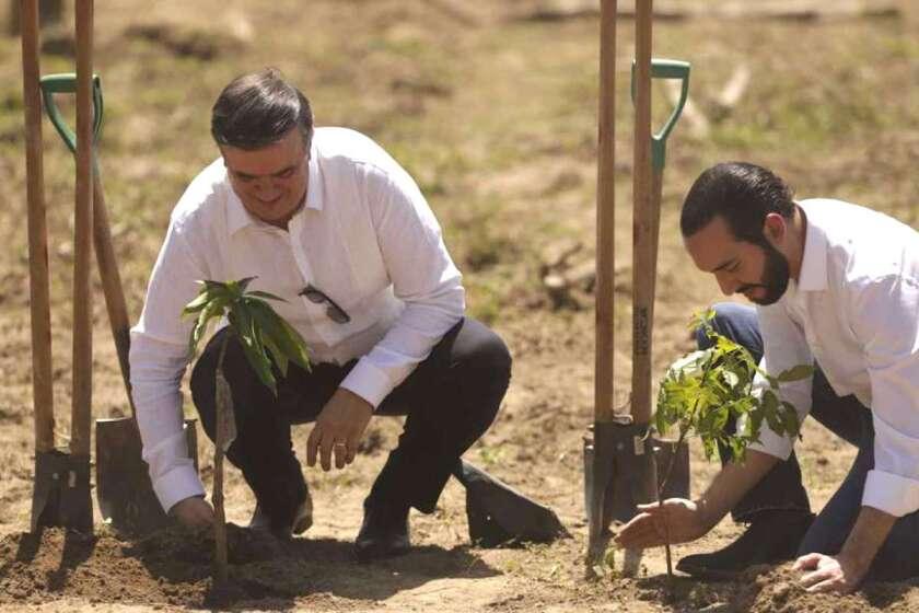 """El canciller mexicano Marcelo Ebrard (I) y el presidente de El Salvador, Nayib Bukele, plantan un árbol durante el lanzamiento del programa """"Sembrando Vida"""" en San Luis Talpa, El Salvador."""