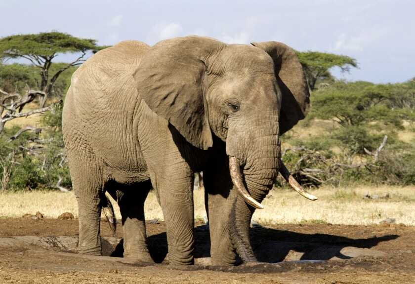 An African elephant in the wild.