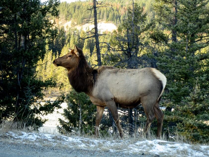 Elk outside Fairmont Jasper Park Lodge.