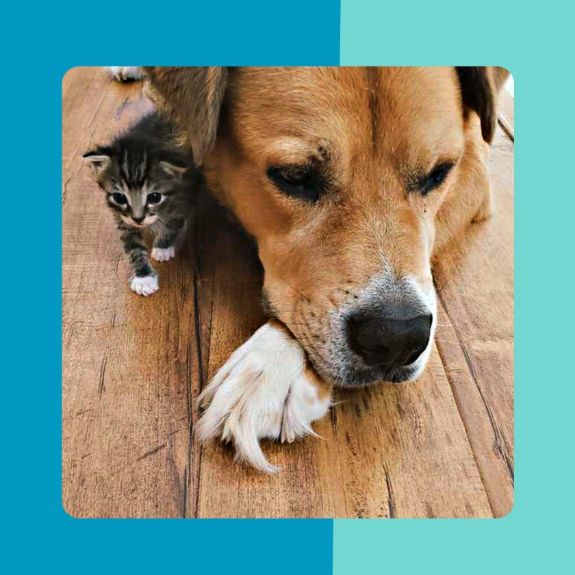 A kitten can be seen from under the dog.
