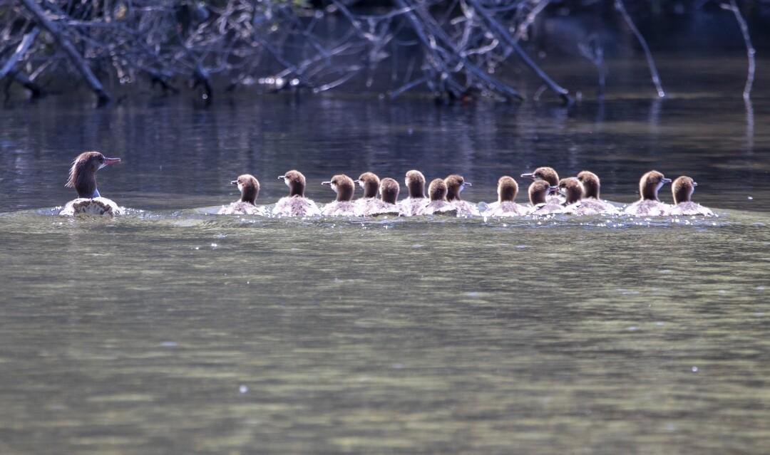 Merganser ducks on the Russian River in Healdsburg, Calif.