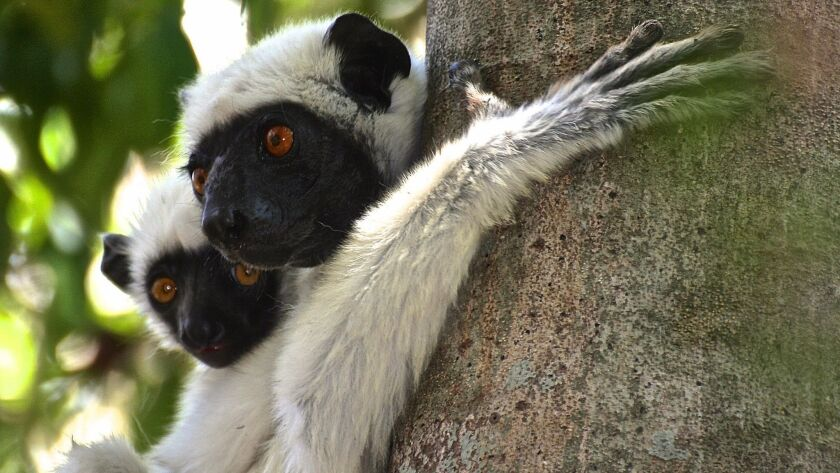 """Decken's sifakas, found only in Madagascar, cling to a tree in the Grand Tsingy nature reserve. The species is commonly known as """"the dancing lemur,"""" because of its bouncy, sideways gait."""