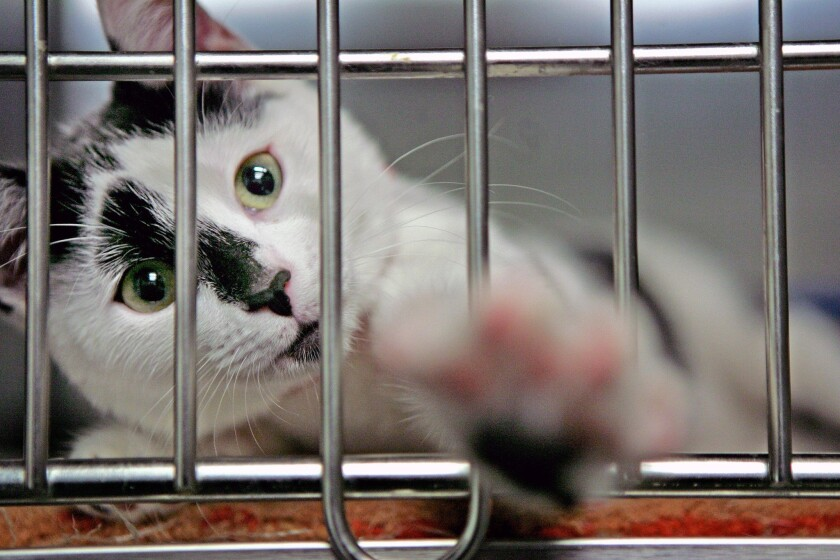 A 4-month-old female domestic cat shown in January 2008 at a shelter in South Los Angeles. Supporters of a proposed change to the city code increasing the cat ownership limit from three to five say it promotes cat adoptions.