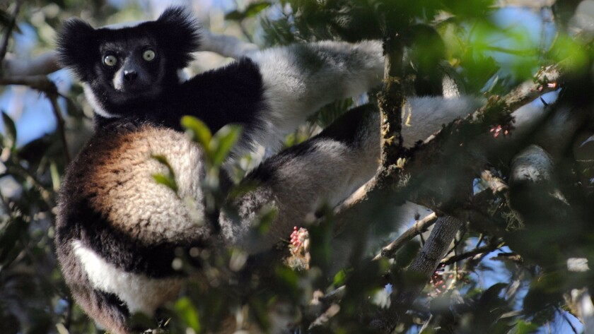 A male Indri lemur looks from a tree as he feeds on leaves in Madagascar.