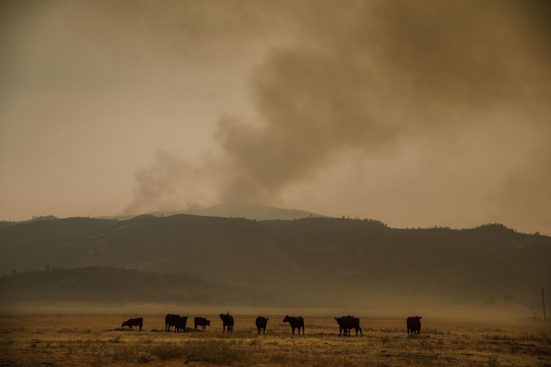 Cattle graze on the grassland near the Ranch fire outside of Lodoga.