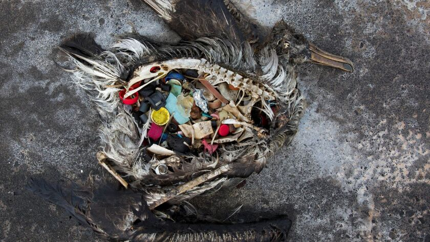A black-footed albatross chick with plastics in its stomach lies dead on Midway Atoll in the Northwestern Hawaiian Islands.