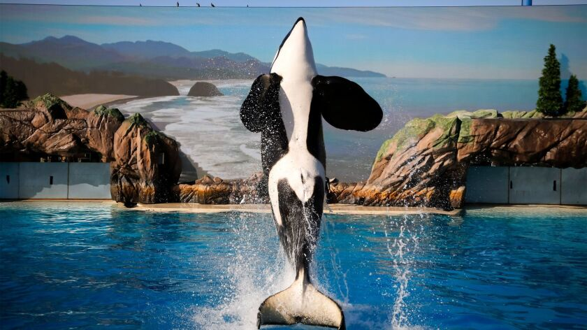 SAN DIEGO, CA: May 19, 2017 | Rehearsals are underway for the upcoming Orca Encounter at SeaWorld S