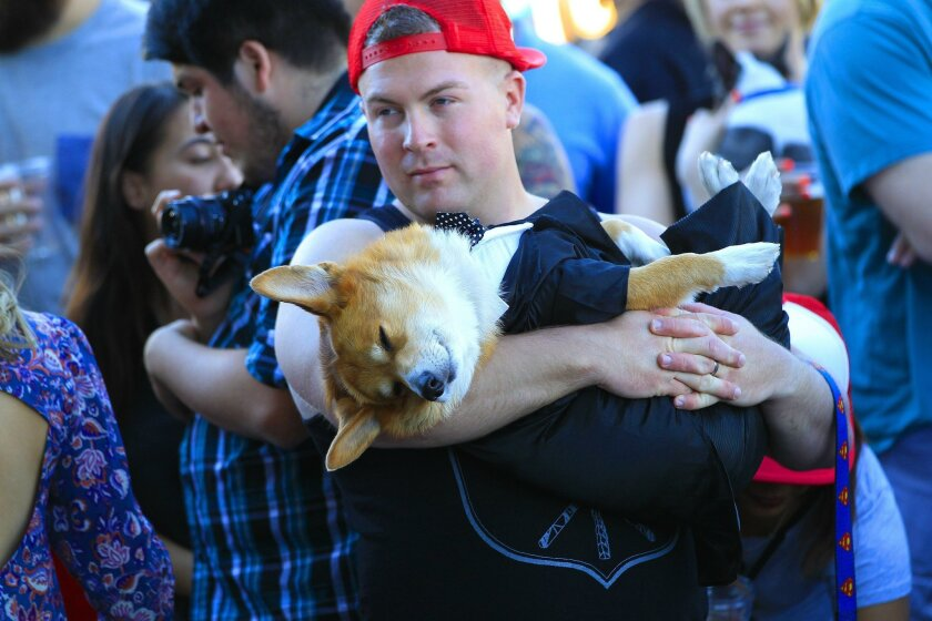 After a day of tough of competition Sunday at San Diego's Raddest Dog Show at Modern Times Brewery in downtown San Diego, Ryan Hearn carries his corgi, Super Corgi JoJo, who was dressed as singer Justin Timberlake.