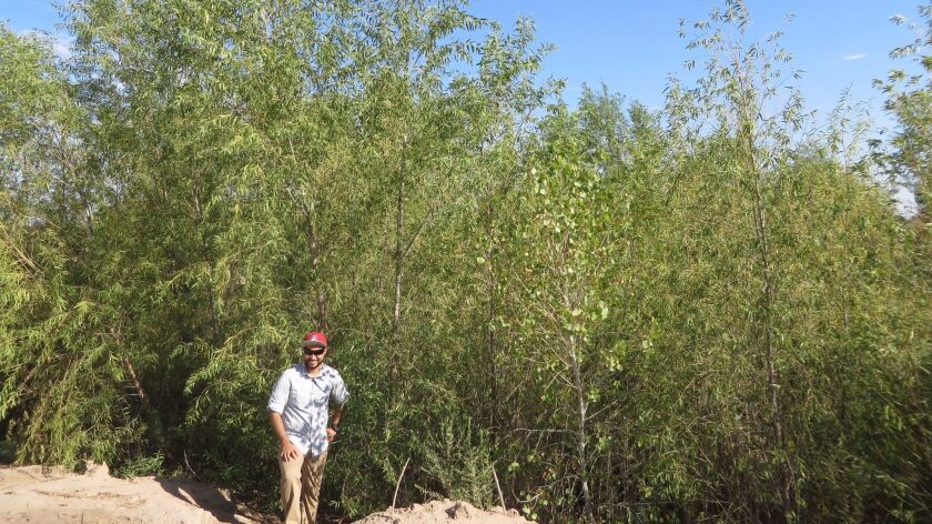 Hector Zamora, a University of Arizona doctoral candidate and member of a monitoring team, posed last August by willow trees that have sprung up at a restoration site in the Colorado River Delta.