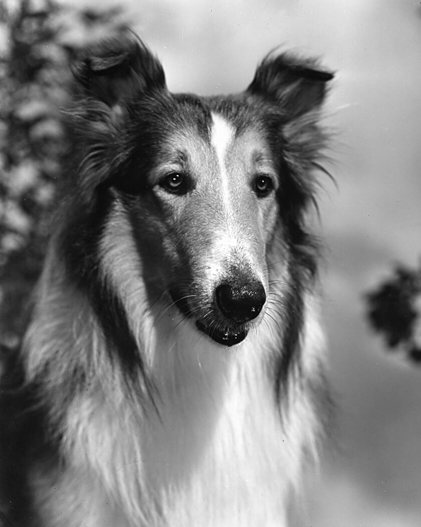 A survey conducted by the research firm Penn Schoen Berland this spring found that Lassie had an 83% brand awareness among those polled in the U.S., and DreamWorks Animation plans to put the charismatic collie back in the public eye. The words most associated with her: classic, smart, loyal, brave, hero and heartwarming. Pictured here on March 16, 1949.