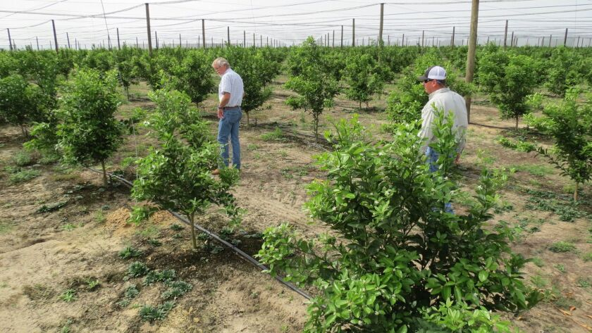 One-year-old W Murcott mandarin trees planted by Jerry Mixon in x, FL in a 20-acre screenhouse to ex